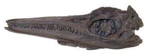 Cranio Fossile di Ittiosauro